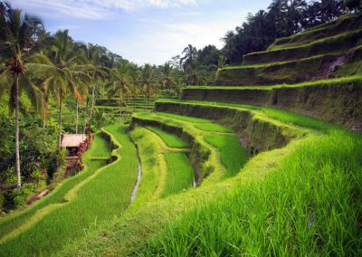 terrace rice fields, ubud